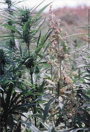 Industrial cannabis growing in Quebec - photo: Hempco