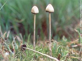 Some examples of Psilocybe Semilanceata