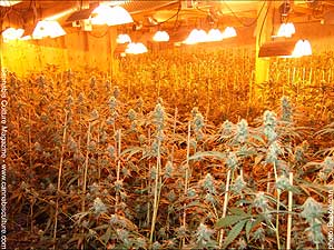 the excitement i get when entering a grow room is always that of minor paranoia mixed with intense excitement i say this mainly because the rooms i find - Basement Grow Room Design