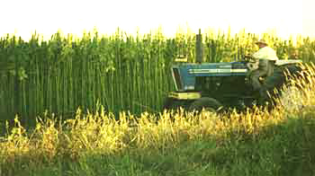 A farmer in his hemp field