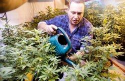 Jason Hiltz works in his medical marijuana grow-op December 7 2011. (photo: Richard Marjan, The StarPhoenix)