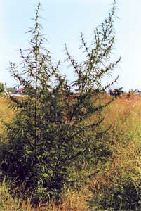 The feral hemp pictured here has adapted to the climate of north central Europe, but it doesn't get you high.  It could be used in hypridization program to create a poten adapted variety.