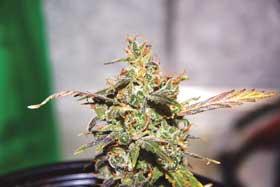 Seedsman Haze