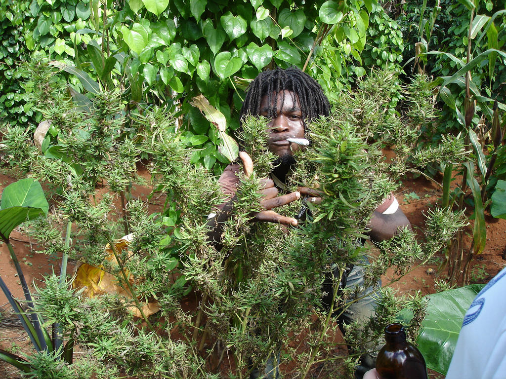 Ganja In Jamaica A Canadian Legal Grower S Perspective