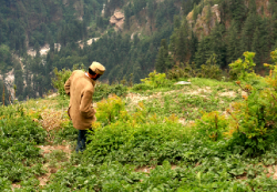 A local man walking through some of Malana's many cannabis cultivations. A road will soon connect the town to civilization. (Photo by Joel Elliott)