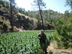 A drug agent stands in a marijuana field near Redding. The 2010 raid led to federal charges against 27 people. (photo: Michael Montgomery/California Watch)