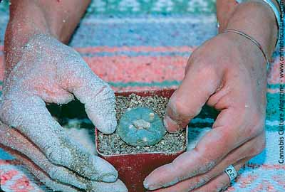 Planting a peyote button into fresh soil. (2/3)