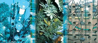 Pot plants belong in a cage, but pot growers don`t!