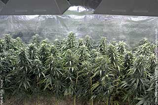 Fine Jamaican clones: the current fave flavor in BC`s commercial grow sector.