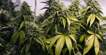 251521-cannabis