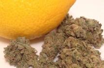 Lemon Lime marijuana