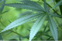 20140724_cannabisplant_afp