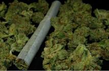 I-love-weed-jedi-og-hybrid-2