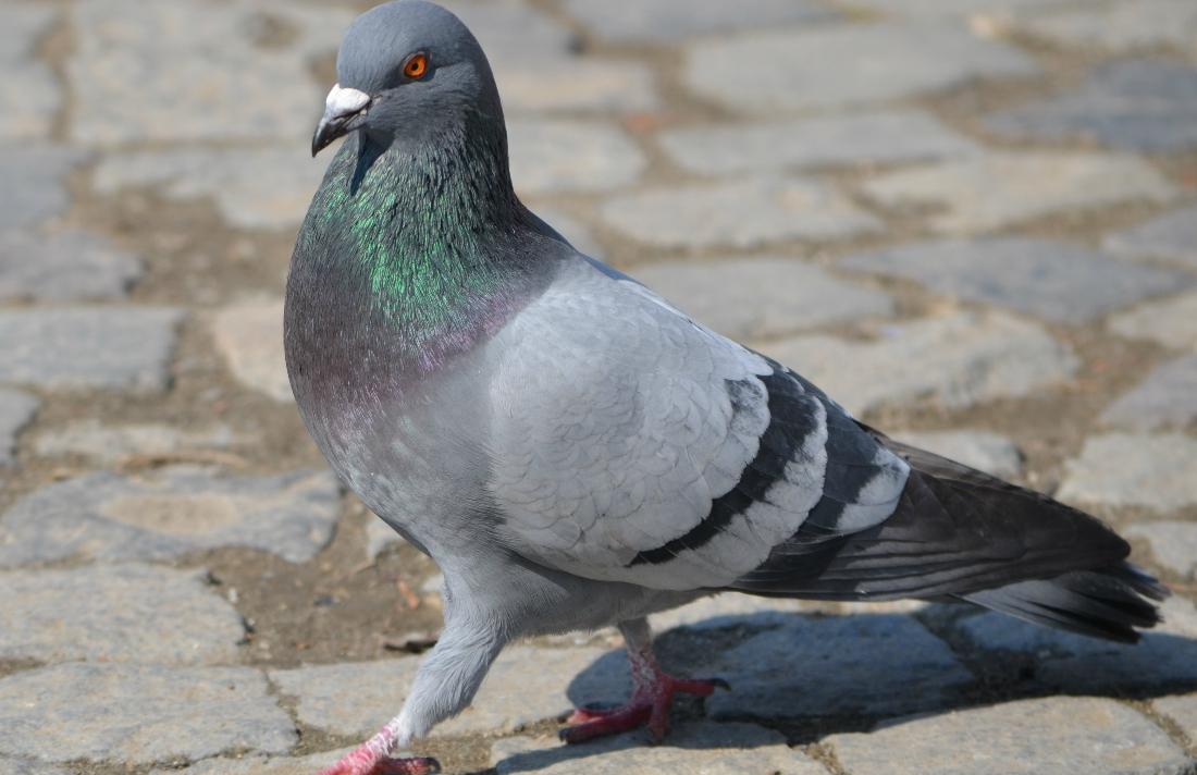 Rock_Pigeon_(Columba_livia)_in_Iași