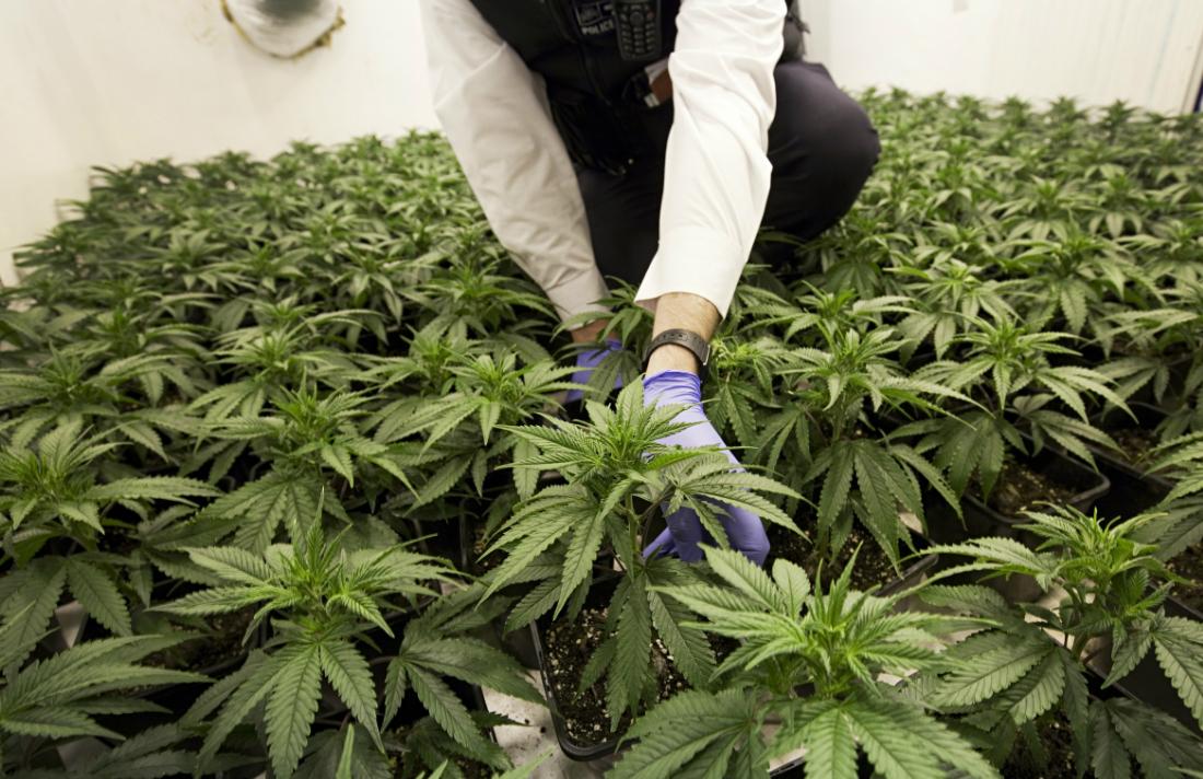 cannabis-014