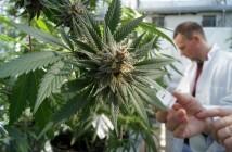 cannabisproduction