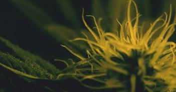 swirl-cannabis-marijuana