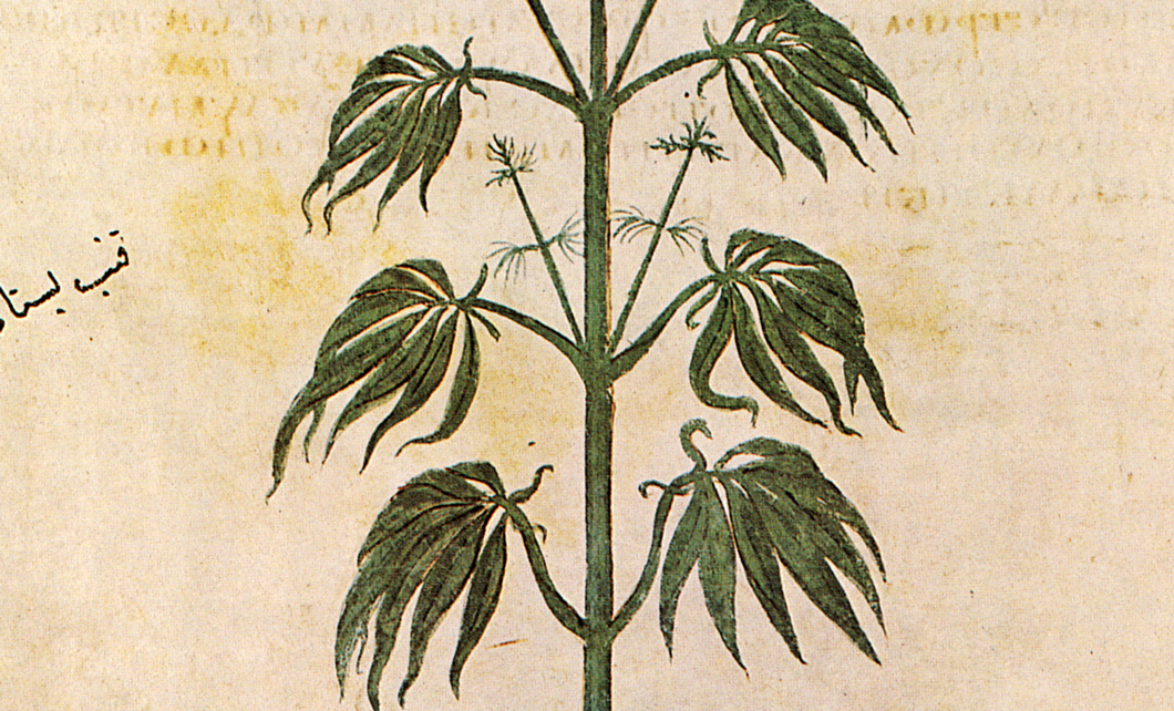 Cannabis sativa from Vienna Dioscurides, 512 AD