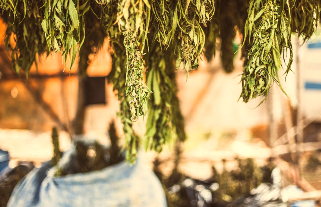 factors-that-impact-your-cannabis-strain-part-4-harvesting-method
