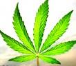 marijuana-leaf-6