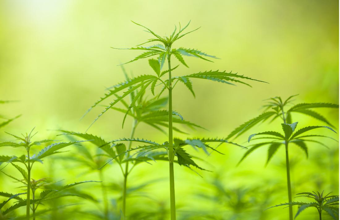 mj01_marijuana