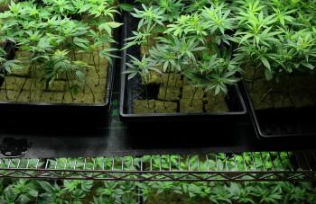 medical-cannabis-one-third