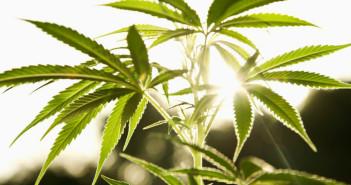 cannabis-leaves1