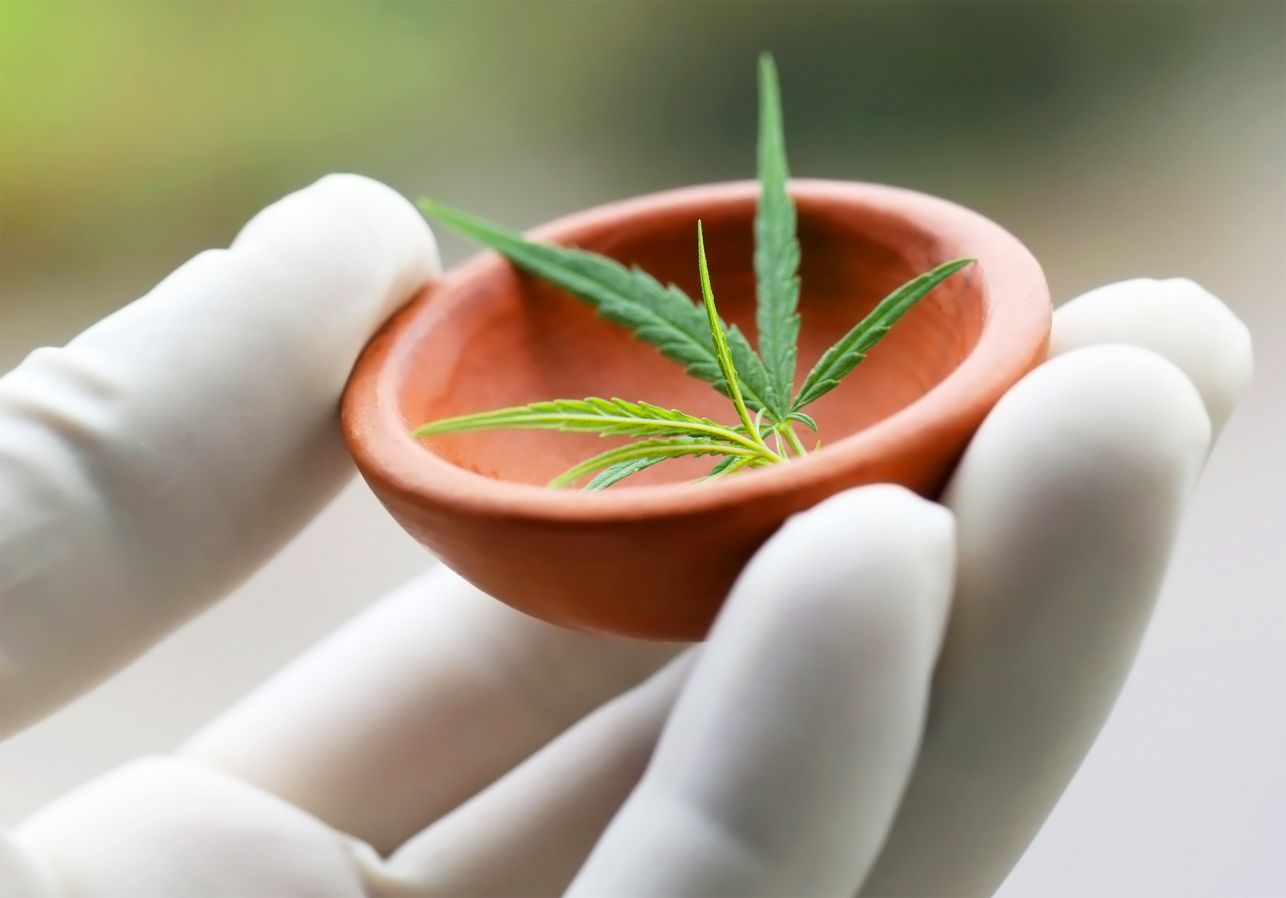 Cannabis or marijuana leaves holding by hand in a pottery wearing protecting glove; Shutterstock ID 495544738; Job: dam; PO: dam; Client: dam; Other: dam