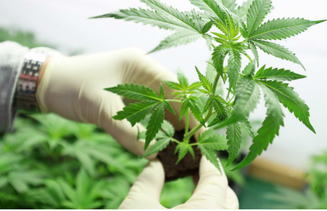 This-Cannabis-Coach-Will-Help-You-Grow-From-Home-