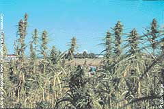 US Customs can`t tell the difference between hemp seeds and pot.
