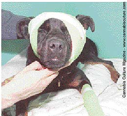 Dog shot by police recovers in Toronto: most pets aren`t so lucky.