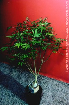 This mother provided many clones, but has been over-pruned