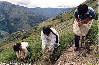 A legal plantation in the Yungas region of La Paz, Bolivia.