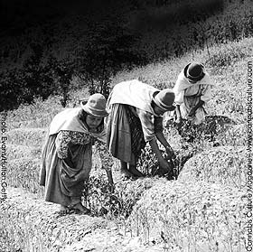 Peasant women pick coca leaves during the harvest in the Bolivian mountains near Chulumani.