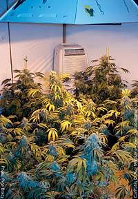 Steve Kubby`s medical grow show: amazing...