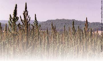 Industrial hemp field in North-Eastern Spain