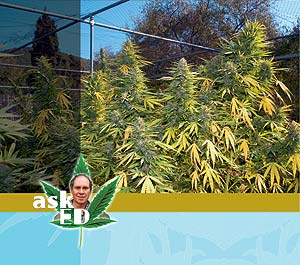 Northern lights outside cannabis culture can you grow northern lights seeds which are advertised for indoor growing outdoors will the plants grow well with no problems lil miss aloadofball Choice Image