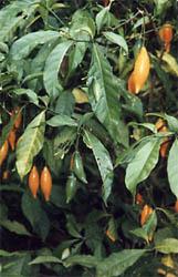 The Ibogaine plant