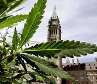 Danger on the horizon for the cannabis culture