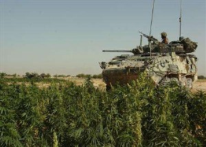 Canadian troops have stumbled across enemy forests of marijuana