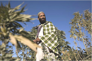 Muhammad Ayud is growing cannabis in his village, Khwaja Gholak