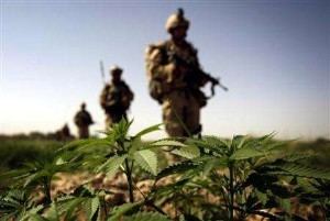 Canadian soldiers near marijuana in Afghanistan. Photo by Finbarr OReilly
