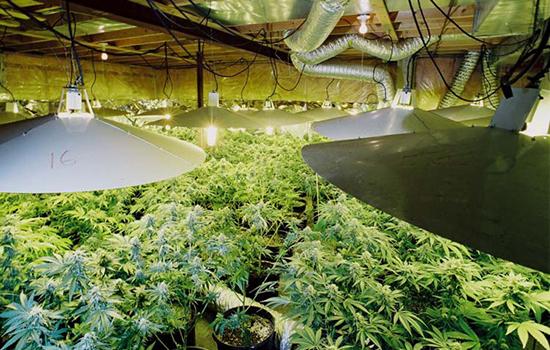 Amateur marijuana growing