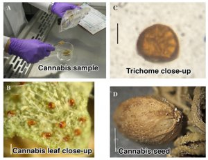 Photos of the cannabis leaf, seed, and trichomes