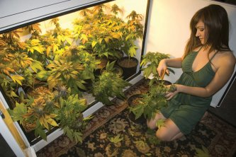 """Ashley helps harvest 18 plants of the Legendary """"OG Kush"""" for a medical patient in Canada."""