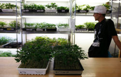 Small marijuana plants, available for sale, are shown in a medical marijuana dispensary in Oakland, California June 30, 2010. (Photo by Robert Galbraith, Reuters)