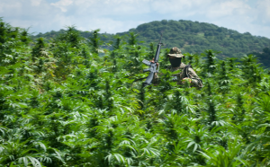 A Mexican marine walks through a field of marijuana plants. In a field in the mountains of Sinaloa, Mexico, a pound of pot might earn a peasant farmer $25. The wholesale price for the same pound in Phoenix, Ariz., is $550. (Photo by Sarah L. Voisin)
