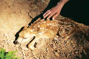 Deer were everywhere, and easily blended into the surroundings.    Joe had never seen a deer and crept close to touch it.