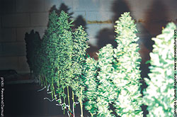 Twelve Skunk #1 and Bubblegum plants