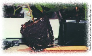 Roots emerging from their container.